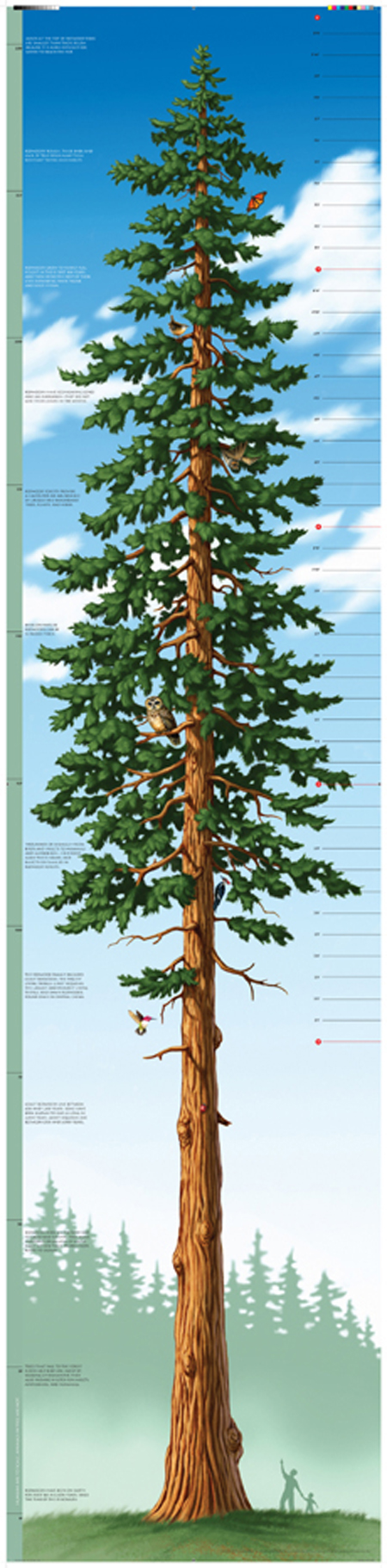 Tallest Tree Growth Chart