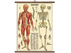 Vintage School Chart- Anatomy